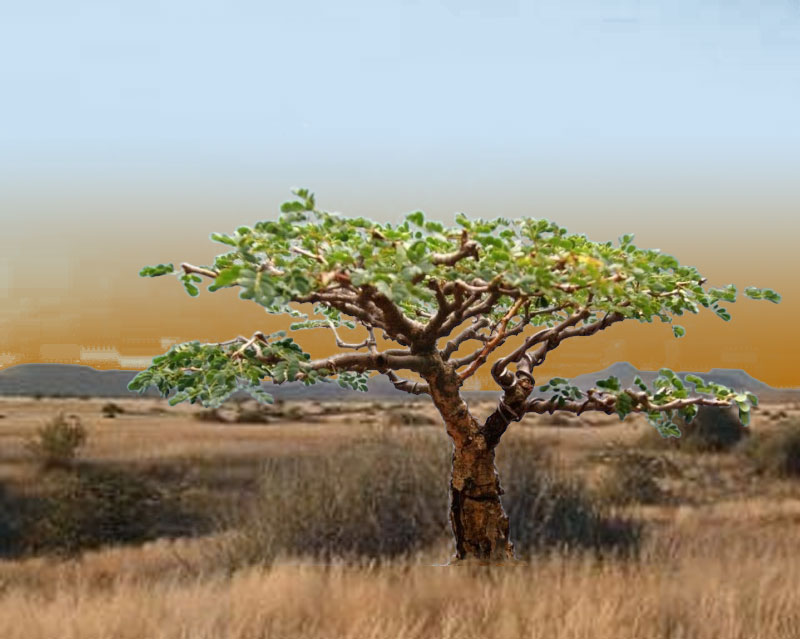 Acacia burkei,  Pierneef Style Acacia11