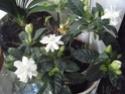 Gardenia 2012_120