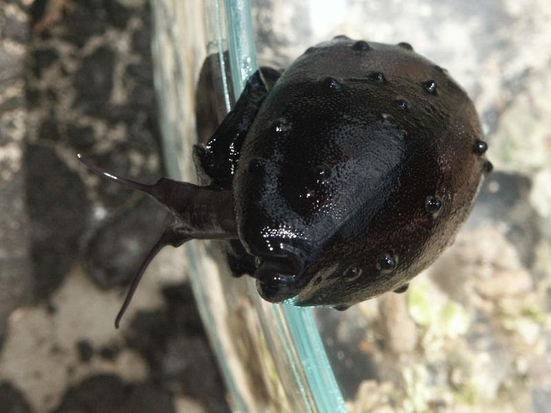 Talparia talpa - (Linnaeus, 1758) - Live Cyprae10