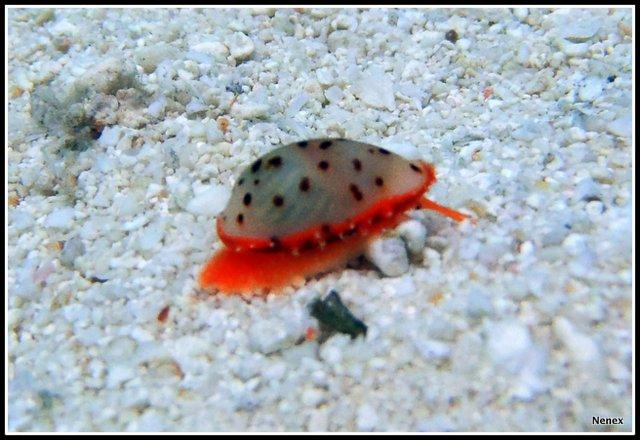 Ransoniella punctata - (Linnaeus, 1771) - Live P1070015