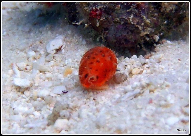 Ransoniella punctata - (Linnaeus, 1771) - Live P1070016
