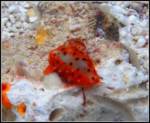 Ransoniella punctata - (Linnaeus, 1771) - Live P1070017