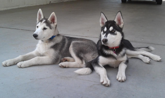 Classic Photos Of Your Huskies - Page 3 100med12