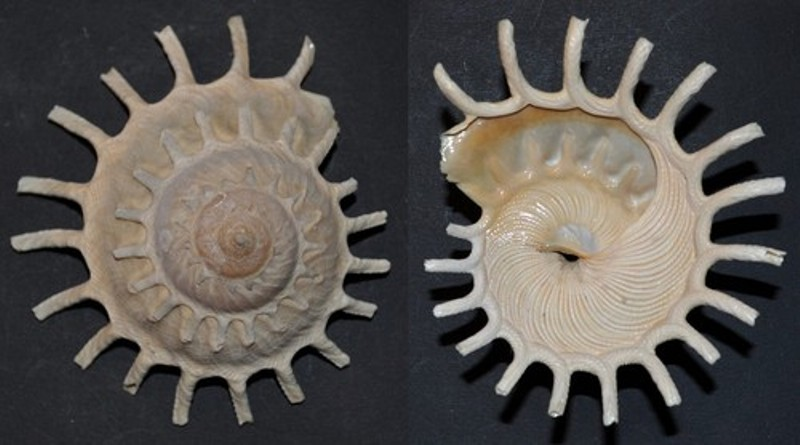 Stellaria solaris - (Linnaeus, 1764) T2ec1613