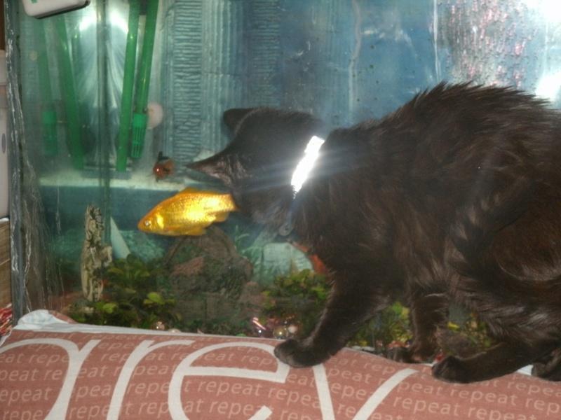 Blackops, le chat chocolaté <3 Gedc0011