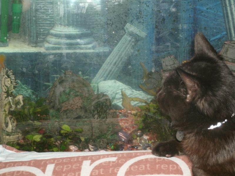 Blackops, le chat chocolaté <3 Gedc0012