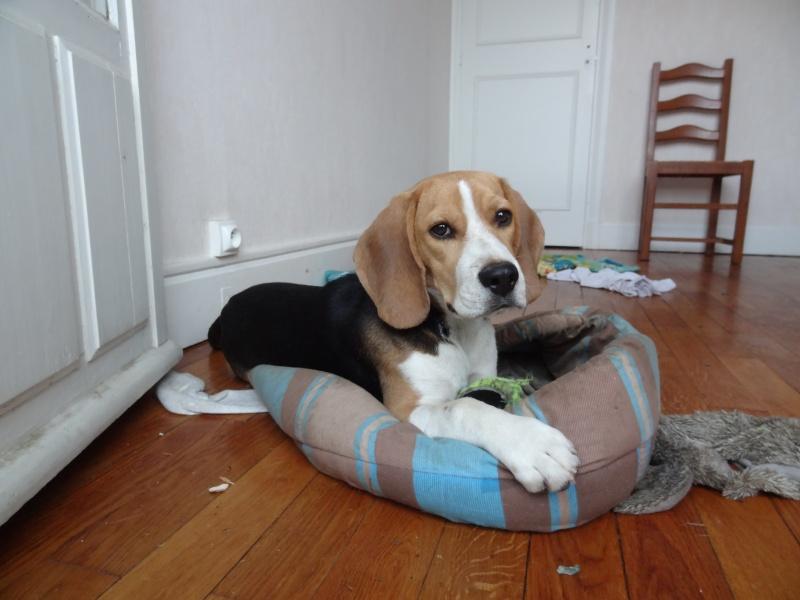 Hulk  - Beagle mâle 9 mois LOF (69-38-42) Hulk_010
