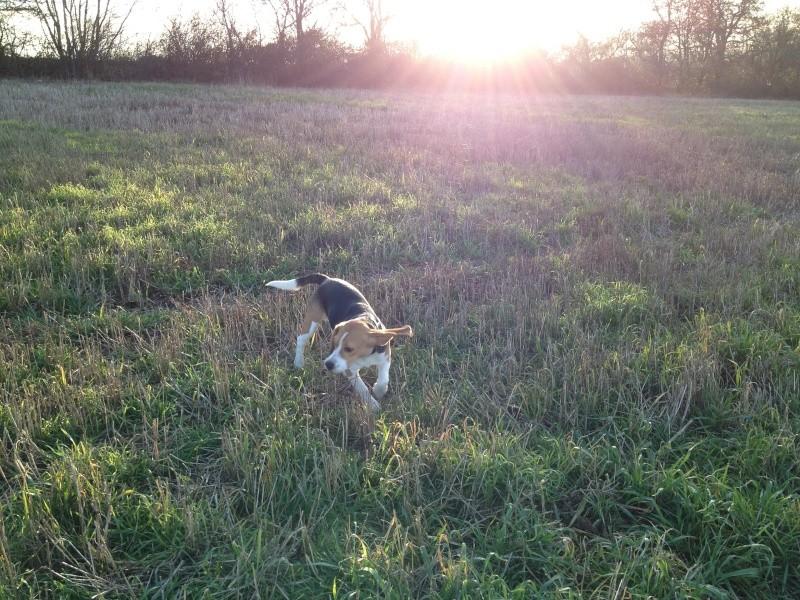 Hulk  - Beagle mâle 9 mois LOF (69-38-42) Hulk_c11
