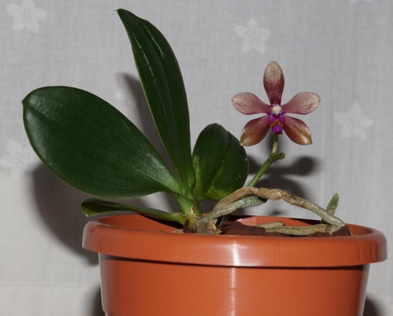 Phalaenopsis stobartiana x bastianii Dsc05511