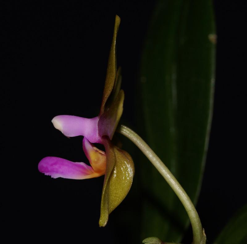 Phalaenopsis stobartiana x bastianii Dsc05711