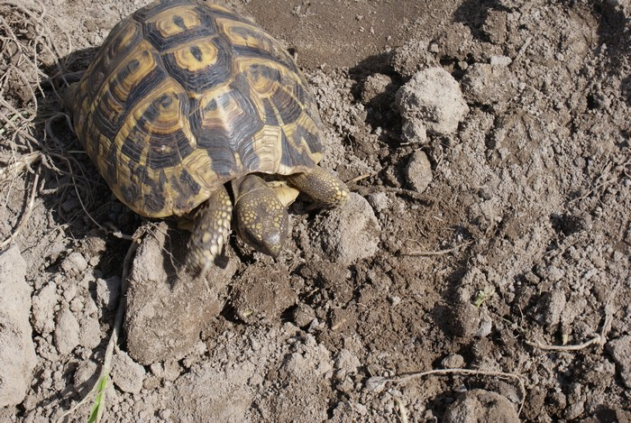 Voici ma tortue Dsc06812