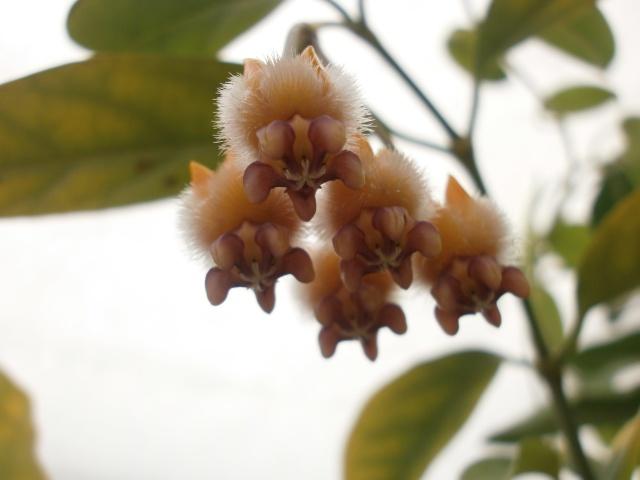 Hoya praetorii P2000011