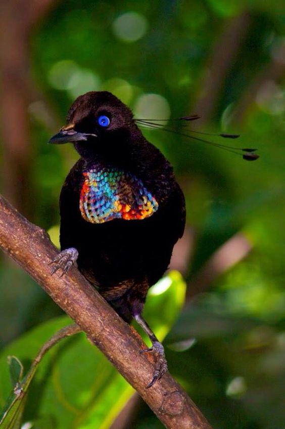 L'oiseau du paradis Paradi10
