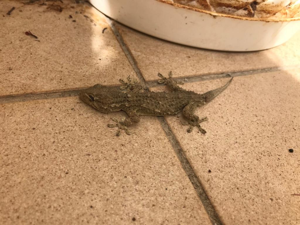 Problème avec un Gecko sauvage Gecko10
