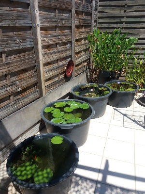 nénuphars exotiques de ma terrasse Bac_tr10