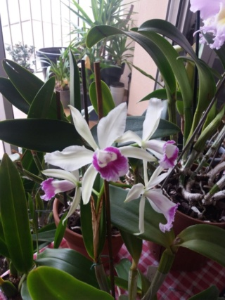 culture des Cattleya en appartement  - Page 2 C_hsin10