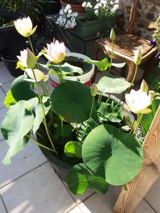 nénuphars exotiques de ma terrasse Lotus210