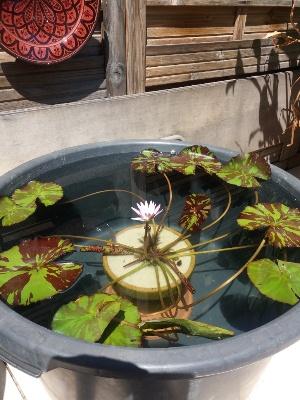 nénuphars exotiques de ma terrasse N_gann10