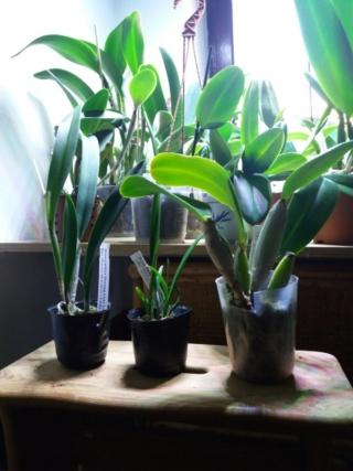 Orchidées en sphaigne : rempotage ? Rps20224