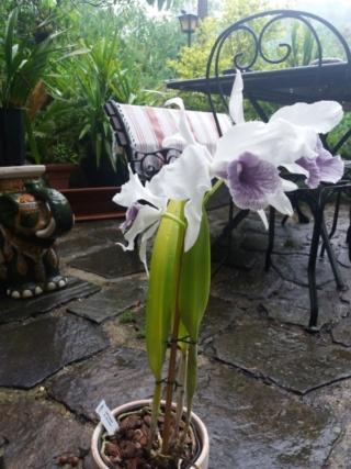 Repos Cattleya purpurata  Rps20258