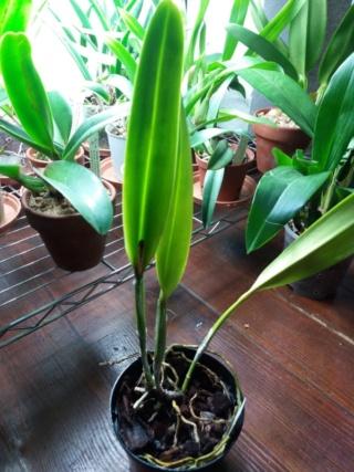 Repos Cattleya purpurata  Rps20259