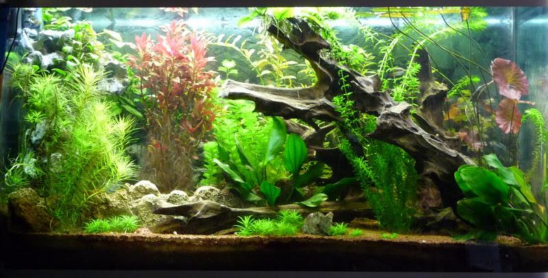 projet aquarium type amazonien  P1020210
