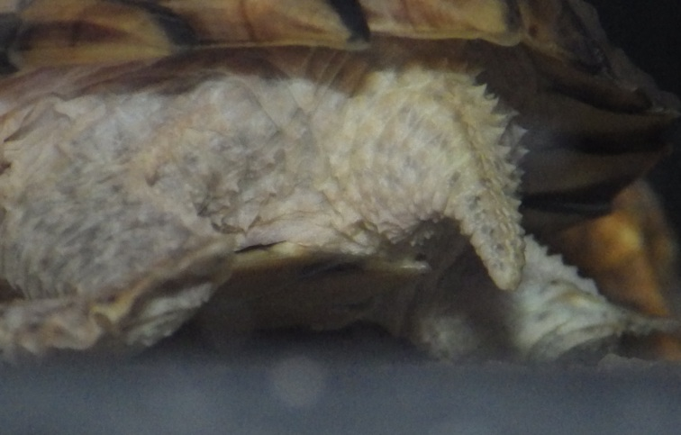 sexage sternothorus carinatus 210