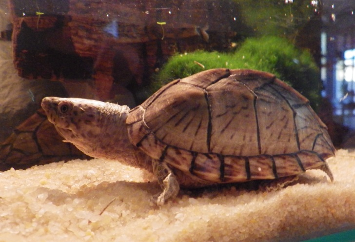 mes deux tortues Sternotherus carinatus T210