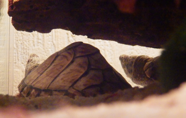mes deux tortues Sternotherus carinatus T510