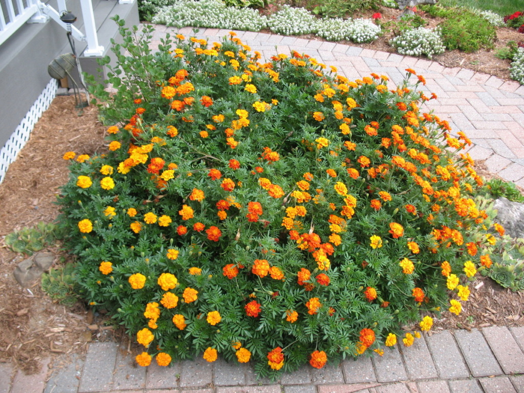 Marigold and other flower choices Img_2589