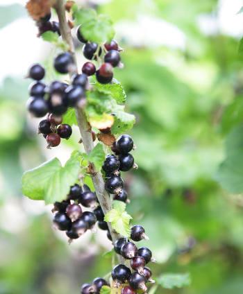Des fruits rouges pour l'été 000_0104
