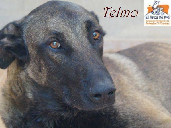 TELMO - CROISE MALINOIS - ES (Sole) 38524610
