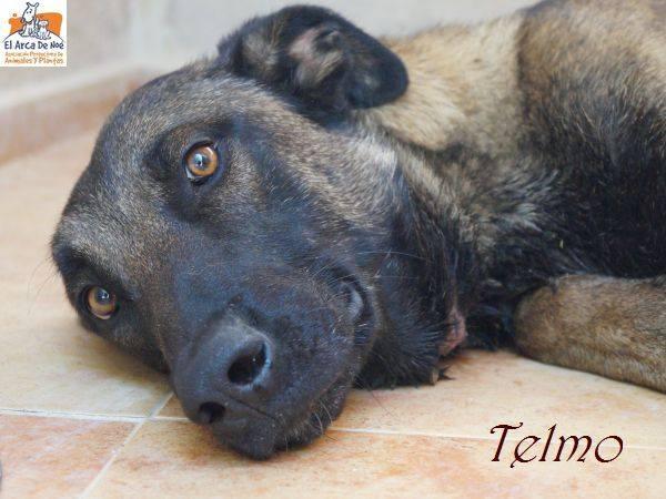 TELMO - CROISE MALINOIS - ES (Sole) 38612610