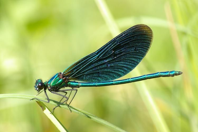 Ma passion de l'entomologie. - Page 5 Calopt10