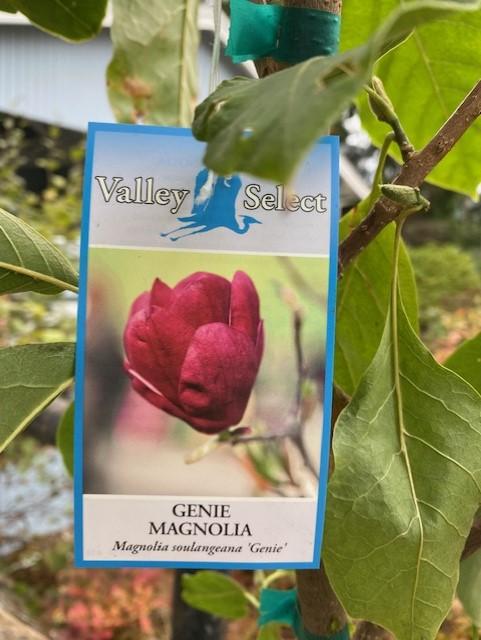 free Genie Magnolia Genie_10