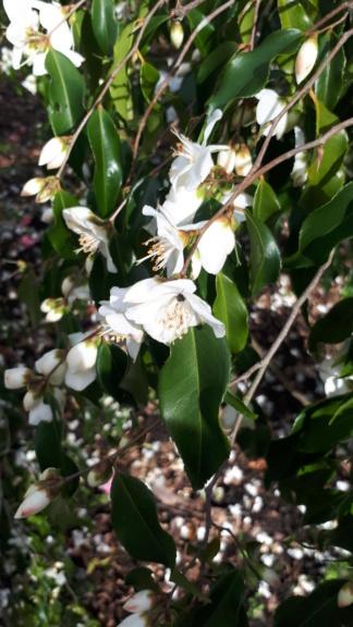 Camellia tsaii  20200210