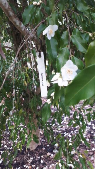 Camellia tsaii  20200211