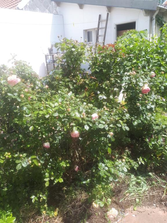 rosier 'Pierre de Ronsard' 20200515