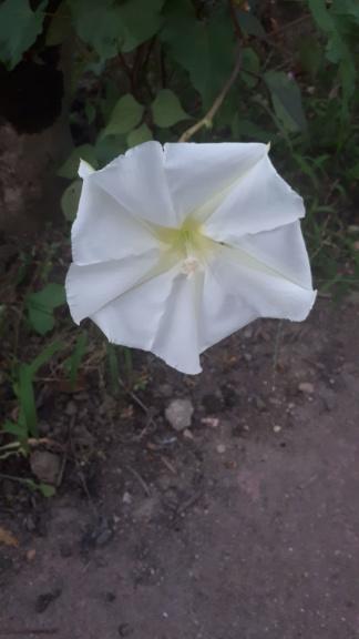 Ipomoea alba - fleur de lune - Page 3 Img-2010