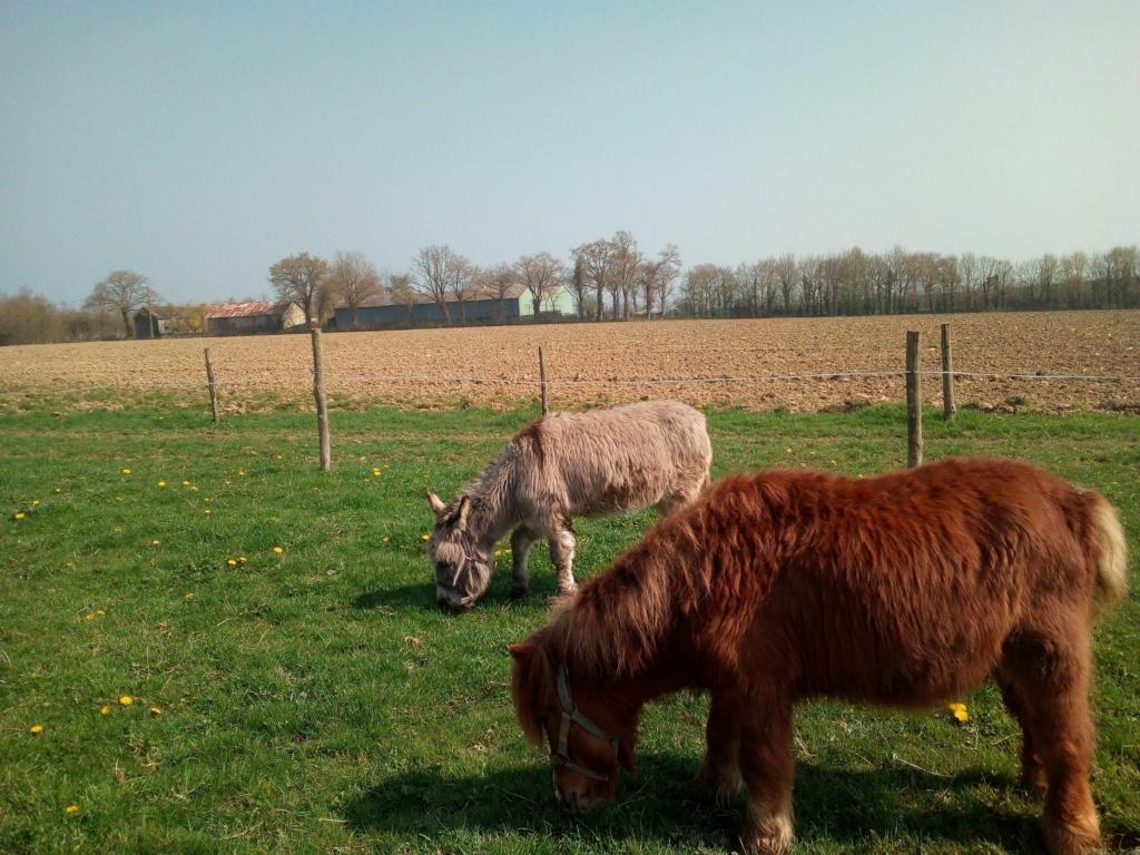 CALICHON - âne gris de petite taille - 25 ans 54517410