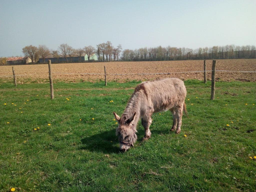 CALICHON - âne gris de petite taille - 25 ans 54522810