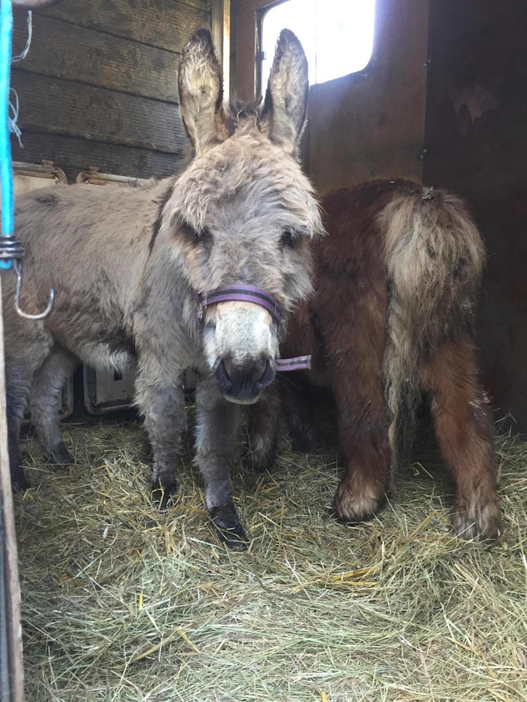 CALICHON - âne gris de petite taille - 25 ans 54523410