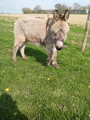 CALICHON - âne gris de petite taille - 25 ans 54800110