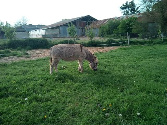 CALICHON - âne gris de petite taille - 25 ans Recei110