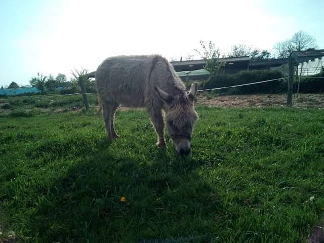 CALICHON - âne gris de petite taille - 25 ans Recei111
