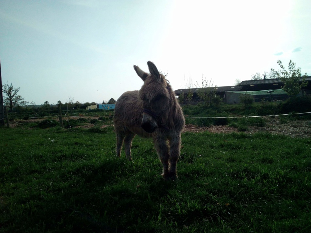 CALICHON - âne gris de petite taille - 25 ans Recei112