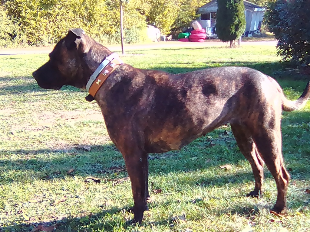 Laya, femelle croisée berger stérilisée Img_2010