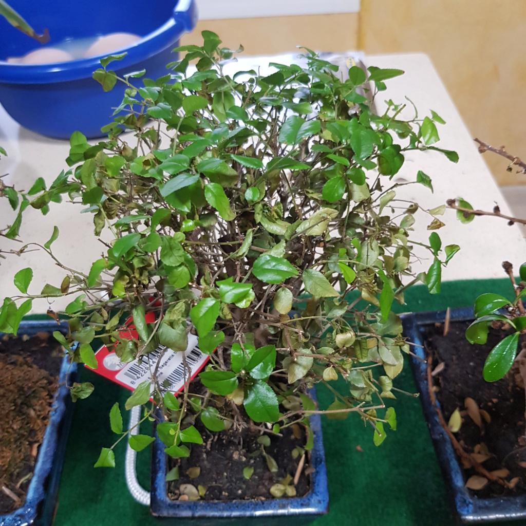 Por fin mis primeros bonsais 15690813