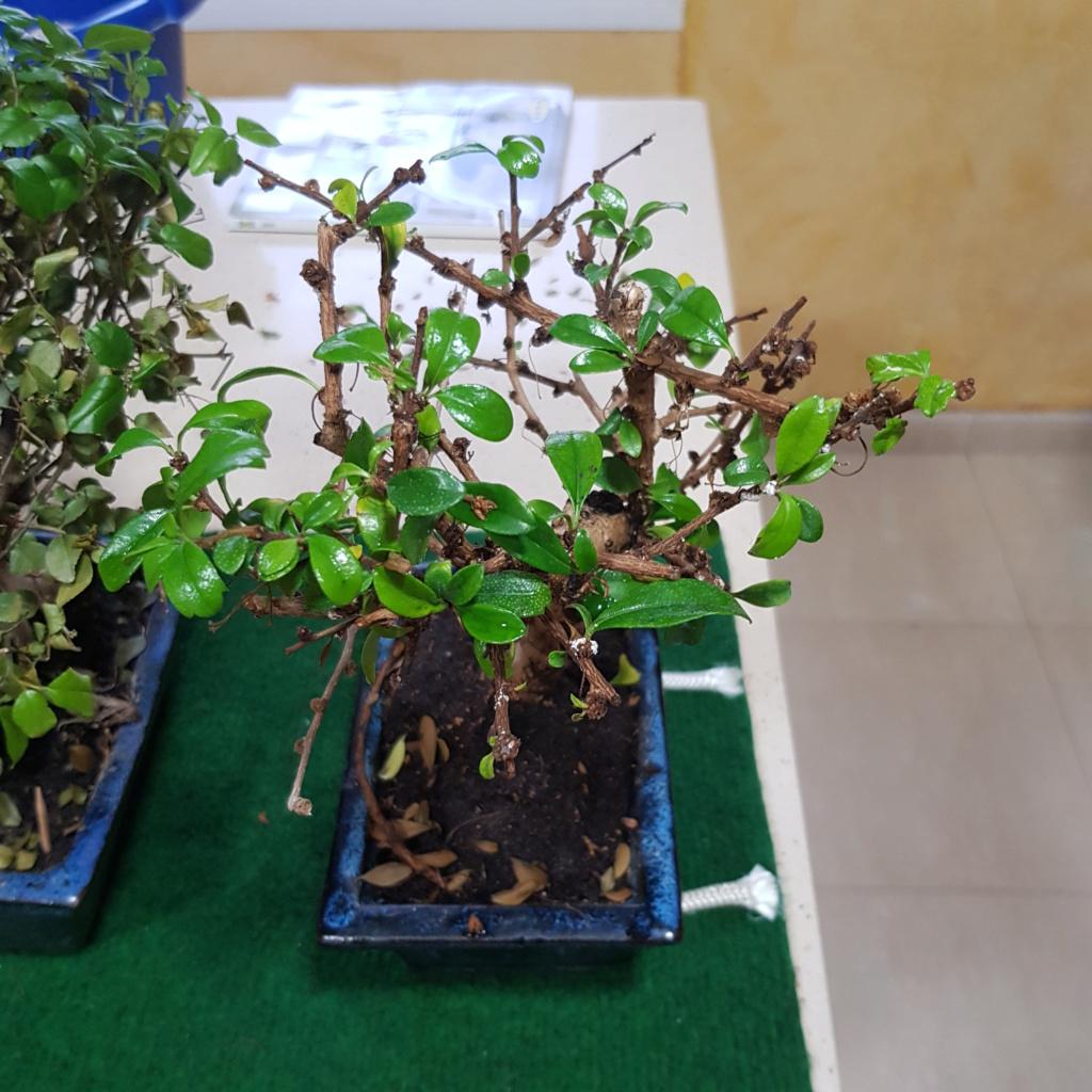 Por fin mis primeros bonsais 15690814