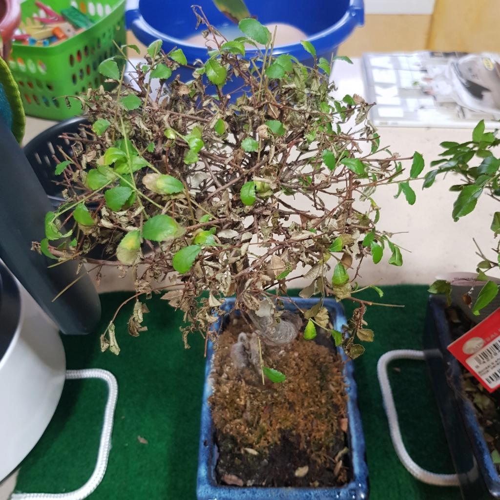 Por fin mis primeros bonsais 15690815